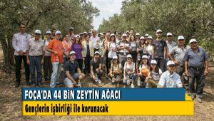 Foça'da 44 bin zeytin ağacı korunacak