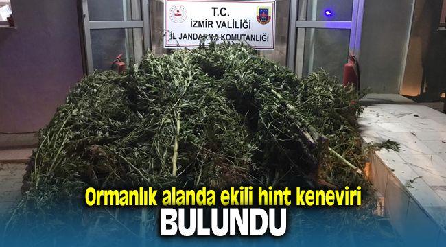 İzmir'de Ormanlık Alanda Hint Keneviri Bulundu