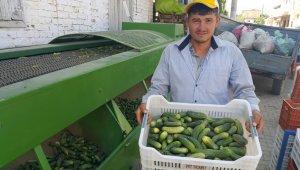Turşuluk salatalık üreticisi zarar ediyor