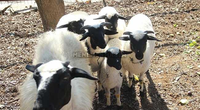 Beşiz doğan koyunlar sahibinin yüzünü güldürdü