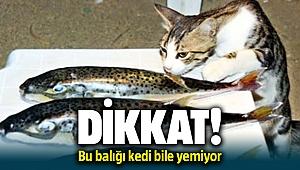 Denizdeki Tehlikeli Bu Balığı Kedi Bile Yemiyor