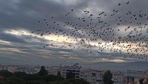 Ödemiş'te binlerce sığırcık kuşundan görsel şov