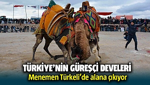 Türkiye'nin güreşçi develeri Menemen'de alana çıkıyor