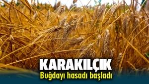 Seferihisar'da Karakılçık buğday hasadı başladı