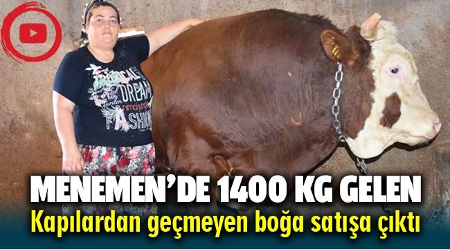 Menemen'de kapılardan geçemeyen 1400 kg'lik Boğa satışa çıktı