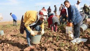 Bitlis'te patatesten bu yıl 350 milyon TL gelir bekleniyor