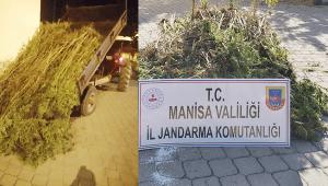 Manisa Gördes'de 721 kök kenevir ele geçirildi