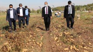 Sivas'ta Solucan gübresiyle üretilen patatesler hasat edildi