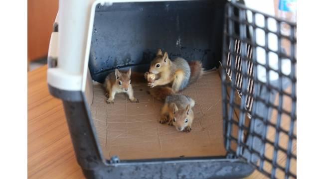 Anneleri olmayan 3 yavru sincap koruma altına alındı