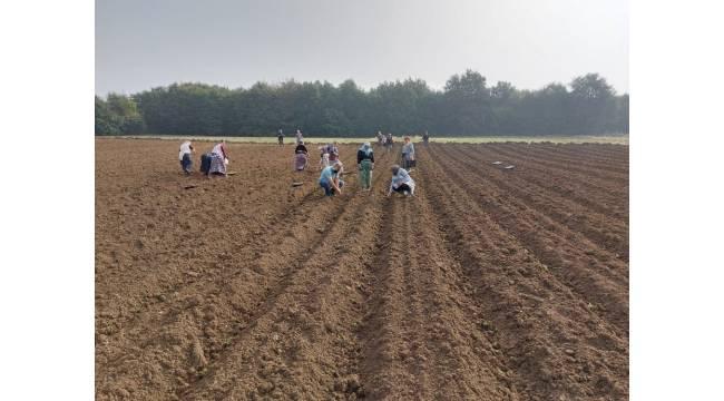 Biberiye fideleri toprakla buluşmaya devam ediyor