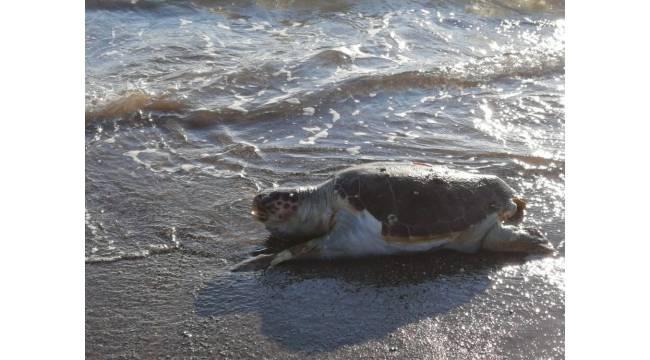 Fethiye'de ölü caretta caretta bulundu