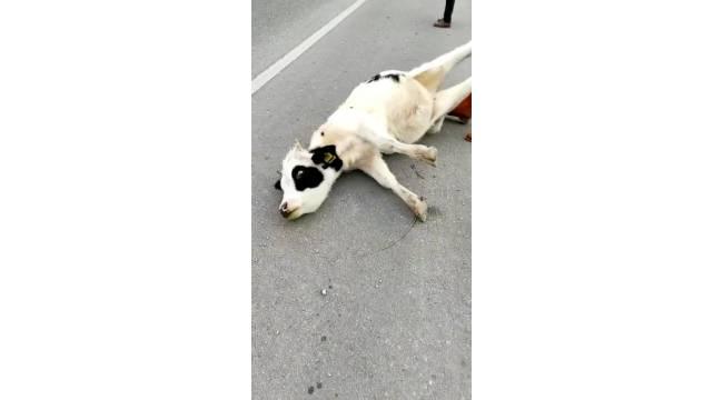 Kazada telef olduğu düşünülen inek bir anda canlandı