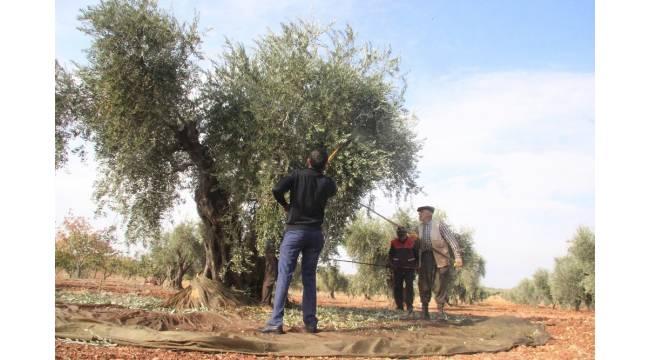 Korana virüs zeytin hasadını vurdu