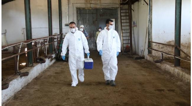 Şap aşısı çalışmalarına devam ediliyor