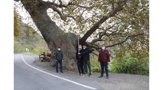 Tekirdağ'da 32 anıt ağaç tescil edildi