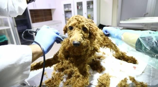 Kötü şartlardan operasyon ile kurtarılan hayvanlara Keçiören Belediyesi sahip çıktı