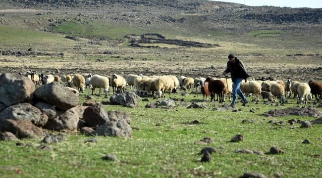 Sokağa çıkma kısıtlamasında çobanlar işlerinin başında