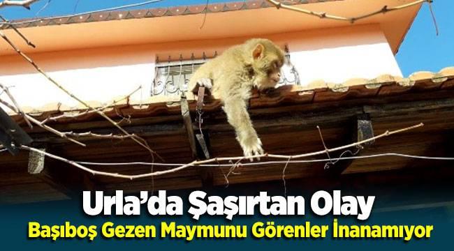 Urla'da Başıboş Gezen Maymunu Görenleri Şaşırtıyor